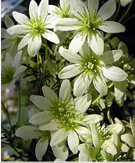 Evergreen Clematis 'Pixie' will NOT need to be pruned