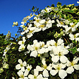 Easy For You To Find! Clematis Plants A- Z