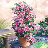 Climbing Plants For Your Patio Containers