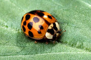 Asian multicolored ladybird