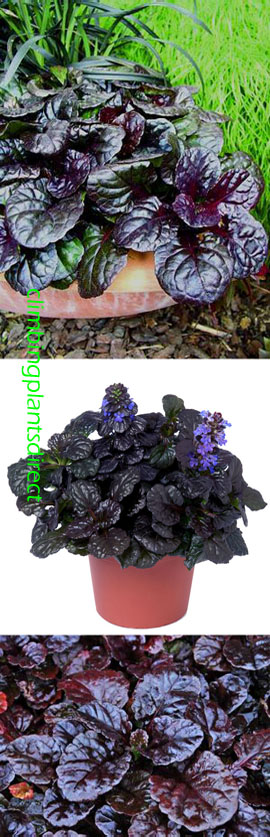 2+x+Ajuga+reptans+%27Black+Scallop%27+%2D+Rockery+or+Ground+cover+perennials%2E+Extremely+hardy+shrub+which+has+been+container+grown+so+can+be+planted+at+any+time+of+the+year%2E+Despatched+WITH+pot+so+the+roots+are+safe%2E