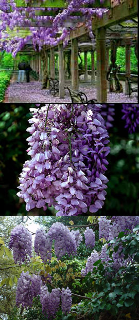 Wisteria+%27Amethyst+Falls%27+%2D++OUTSTANDING+NEW+COMPACT+INTRODUCTION+%2D+First+Year+Flowering%21