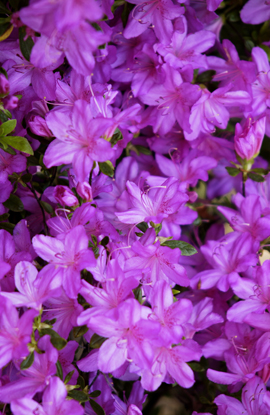 Azalea+%27Mollis+Purple%27%2D+A+NEW+Hardy+Perennial+Flowering+Shrub%2E+This+hardy+shrub+has+been+container+grown+so+can+be+planted+at+any+time+and+will+reward+you+all+year+round%2E+We+despatch+WITH+container+so+the+roots+are+safe%2E