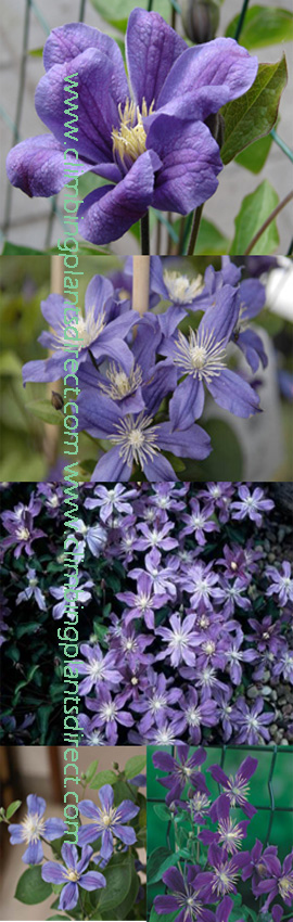 Clematis+%27Arabella%27+%2D+Perfect+for+patio+containers%2E++This+Hardy+Perennial+Climber+has+been+container+grown+so+can+be+planted+at+any+time+of+the+year%2E+We+despatch+WITH+container+so+the+roots+are+safe%2E+