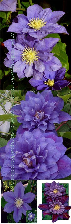 Clematis++%27Beauty+of+Worcester%27+%2D+RICH+AND+INTENSE++EXQUISITE+LARGE+FLOWERING+CLIMBER+superb+for+containers%2E+This+Hardy+Perennial+Climber+has+been+container+grown+so+can+be+planted+at+any+time+of+the+year%2E+We+despatch+WITH+container+so+the+roots+are+safe