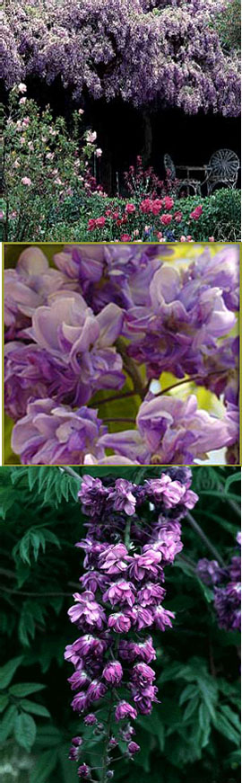 LARGE+90cm%2B+Wisteria+%27Violacea+Plena%27+%2D+DOUBLE+FLOWERING+WISTERIA+WITH+DOUBLE+DARK+BLUE+FLOWERS
