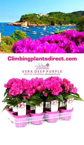 Bougainvillea+%27Vera+%2D+Deep+Purple%27