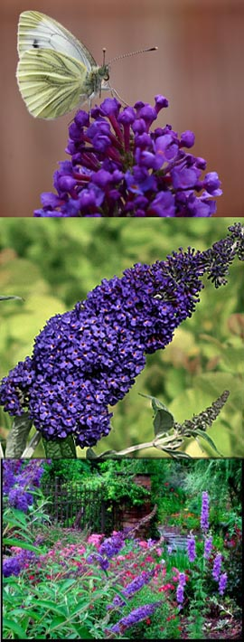 2+x+Buddleja+%27Adonis+Blue%27+%2D+NEW+ENGLISH+BUTTERFLY+SERIES+Dwarf+Buddleja+with+Long+Fragrant+Flower+Spikes