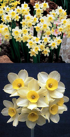 Narcissus+%27Minnow%27%27+%2D+minature+growing+daffodils+with+HEAVENLY+SCENTED+FLOWERS+%2A+Commercial+size+bulbs+NOT+small+pre%2Dpacks++%2D++Provides+More+Even+Growth%2A