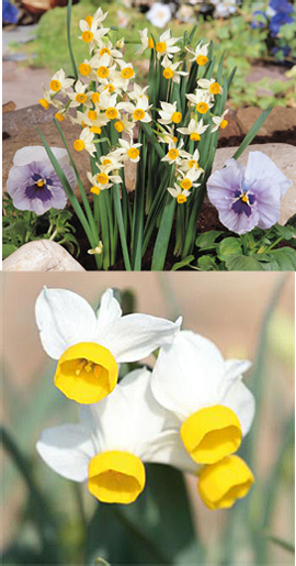 Narcissus+%27Canaliculatus%27+%2D+minature+daffodils+++SCENTED+FLOWERS+%2A+Commercial+size+bulbs+NOT+small+pre%2Dpacks++%2D++Provides+More+Even+Growth%2A