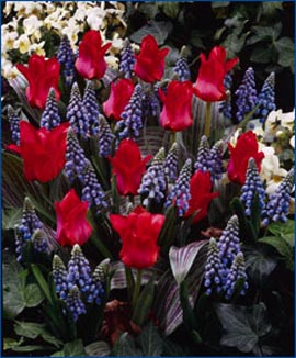 Tulip+%27Red+Riding+Hood%27+%2D+Dwarf+growing+%2A+Commercial+size+bulb+NOT+small+pre%2Dpacks+%2D+Provides+More+Even+Growth+%2A