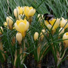 Crocus+%27Romance%27+%2D++%2A+THE+START+OF+SPRING+%21+%2A+Commercial+size+bulbs+NOT+small+pre%2Dpacks