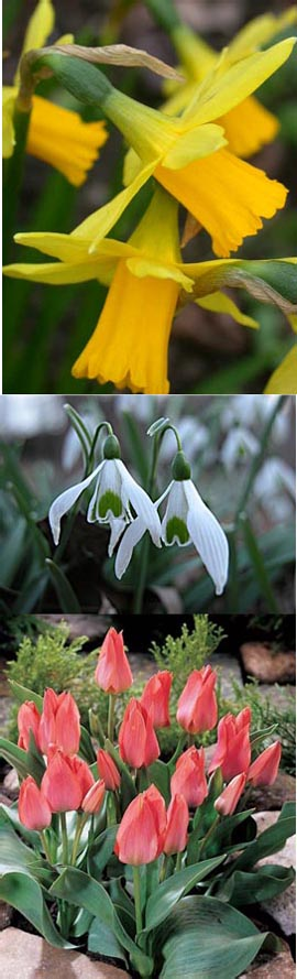 Bulb+Collection+2+%2D+Narcissus+%27Tete+a+Tete%27++x12%2C+Snowdrops+%2D+%27Galanthus%27+x12%2C+Tulip+%27Toronto%27+x12+%2A+Commercial+size+bulbs+NOT+small+pre%2Dpacks%2A