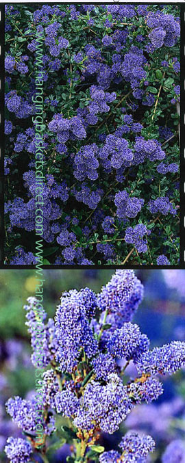 Ceanothus+%27Italian+Skies%27+%2D+The+BLUE+JEWEL+of+the+garden%2E+This+EVERGREEN+hardy+shrub+has+been+container+grown+so+can+be+planted+at+any+time+anad+will+reward+you+all+year+round%2E++We+despatch+WITH+container+so+the+roots+are+safe%2E