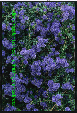 Ceanothus+%27Skylark%27+%2D+The+BLUE+JEWEL+of+the+garden%2E+This+EVERGREEN+hardy+shrub+has+been+container+grown+so+can+be+planted+at+any+time+anad+will+reward+you+all+year+round%2E++We+despatch+WITH+container+so+the+roots+are+safe%2E