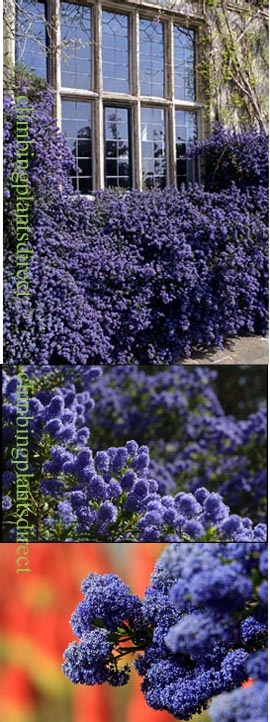 Ceanothus+%27Blue+Sapphire%27+%2D+Blue%2C+and+Chocolate+too+%2E+This+EVERGREEN+hardy+shrub+has+been+container+grown+so+can+be+planted+at+any+time+and+will+reward+you+all+year+round%2E++We+despatch+WITH+container+so+the+roots+are+safe%2E