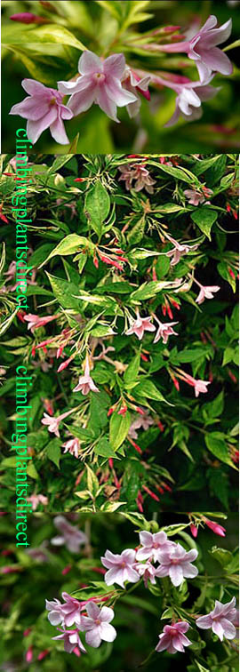 Jasminum+x+Stephanense+%2D++%2AVERY+BEAUTIFUL+STRONGLY+FRAGRANT+SUMMER+FLOWERING+JASMINE%2A+Perfect+for+Pergolas%21+This+Perennial+Climber+has+been+container+grown+so+can+be+planted+at+any+time+of+the+year%2E+We+despatch+WITH+container+so+roots+are+protected%2E
