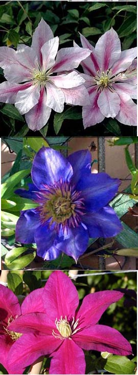 Clematis+Collection%2E+3+Compact+Easy+to+Grow+Climbers+ideal+for+smaller+patio+spaces+or+containers%2E%27Andromeda%27%2C+%27Multi+Blue%27+%26+%27Sunset%27%2E