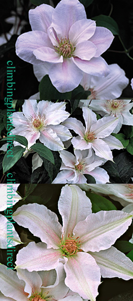 Clematis+Chantilly+%99+Evipo021+Compact+and+Scented+so+great+for+Patio+Containers%2E+This+Hardy+Perennial+Climber+has+been+container+grown+so+can+be+planted+at+any+time+of+the+year%2E+We+despatch+WITH+container+so+the+roots+are+safe%2E