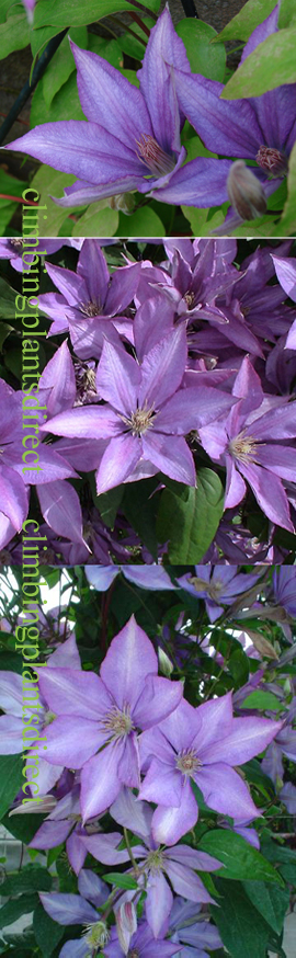 Clematis+%27Dorothy+Walton%27+%2D+RICH+AND+INTENSE++EXQUISITE+LARGE+FLOWERING+CLIMBER+superb+for+containers%2E+This+Hardy+Perennial+Climber+has+been+container+grown+so+can+be+planted+at+any+time+of+the+year%2E+We+despatch+WITH+container+so+the+roots+are+safe