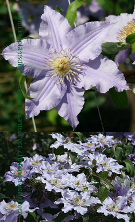 Clematis+Angelique+%99+Evipo017+Compact+habit+so+great+for+Patio+Containers%2E+FLOWERS+TWICE+EACH+YEAR%21+This+Hardy+Perennial+Climber+has+been+container+grown+so+can+be+planted+at+any+time+of+the+year%2E+We+despatch+WITH+container+so+the+roots+are+safe%2E