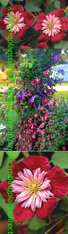 2+x+Clematis+Avant%2DGarde+%99+Evipo033%2E++This+Hardy+Climber+has+been+container+grown+so+can+be+planted+at+any+time+of+the+year%2E+We+despatch+WITH+container+so+the+roots+are+safe%2E