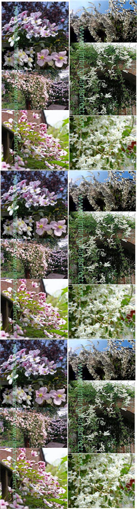 Fast+growing+Perennial+Climbing+Mile+%2Da%2Dminute+pair+offer+%2D+Clematis%27Elizabeth%27+with+vanilla+scented+flowers+%26+Russian+Vine+with+its+beautiful+pink%2Dtinged+white+flowers%2E