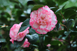 Camellia+%27Margaret+Davis%27+%2D+A+compact+evergreen+shrub+with+charming+ruffled+double+flowers+edged+in+raspberry%2E