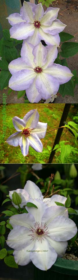 Clematis+%27Dorath%27+%2EThis+Hardy+Perennial+Climber+has+been+container+grown+so+can+be+planted+at+any+time+of+the+year%2E+We+despatch+WITH+container+so+the+roots+are+safe%2E