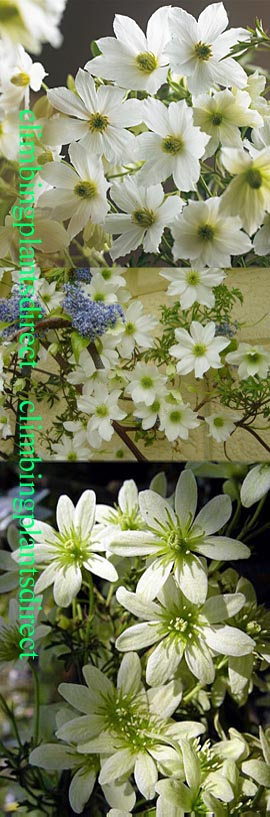 Clematis+%27Early+Sensation%27+Evergreen+and+Scented+Flowers%2E++This+Hardy++Perennial+Climber+has+been+container+grown+so+can+be+planted+at+any+time+of+the+year%2E++We+despatch+WITH+container+so+the+roots+are+safe%2E