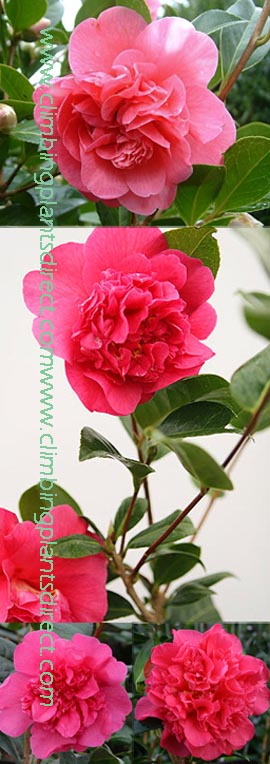 +2X+Camellia+x+williamsii+%27Anticipation%27+%2D++These+EVERGREEN+climbing+plants+have+been+container+grown+so+can+be+planted+at+any+time+of+the+year%2E