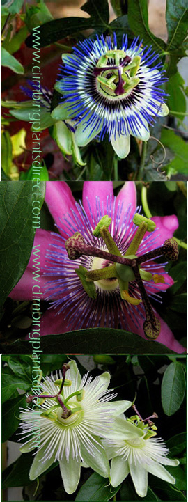Climbing+Plants+x+3+Offer%2D+Passion+Flower+Promotion+%2D+Hardy+Plants+with+Exotic+Flowers+and+EVERGREEN+GLOSSY+FOLIAGE