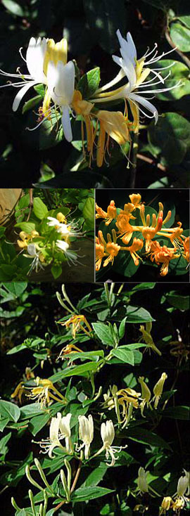 2+x+Honeysuckle+%2D+Lonicera+japonica+Halliana+%2D+EVERGREEN+%26+VERY+LONG+FLOWERING+PERIOD+%2D+SCENTED+FLOWERS%2E+This+Hardy+Perennial+Climber+has+been+container+grown+so+can+be+planted+at+any+time+of+the+year%2E+We+despatch+WITH+container+so+roots+are+safe