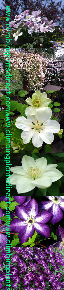 Early%2C+Middle+%26+Late+Flowering+Clematis+Collection+%26+All++3+Clematis+Climbing+Plants+Suited+to+Growing+in+ABSOLUTELY+ANY+SPOT+in+Your+Garden%21