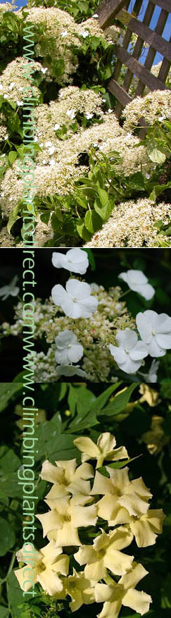Scented+Climbing+Plants+Offer+%2D+Two+Of+The+Best++Scented+Evergreen+Climbing+Plants%2E+Jasmine+%27Clotted+Cream%27++%26+Hydrangea+%27Seemannii%27%2E