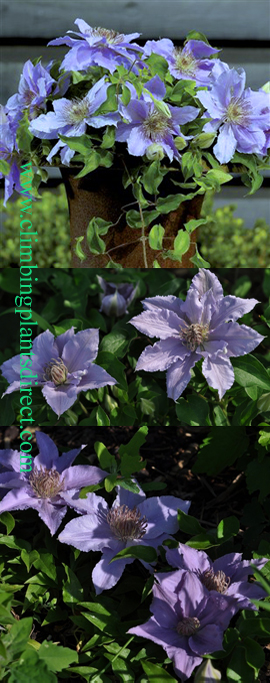 LARGE+70cm%2B+Clematis+%27Filigree+%27%99+Evip029%28N%29+%2D++New+Introduction%2E+Compact+habit+so+great+for+Patio+Containers%2E+LONG+FLOWERING+SEASON%21+This+Hardy+Perennial+Climber+has+been+container+grown+so+can+be+planted+at+any+time+of+the+year%2E+