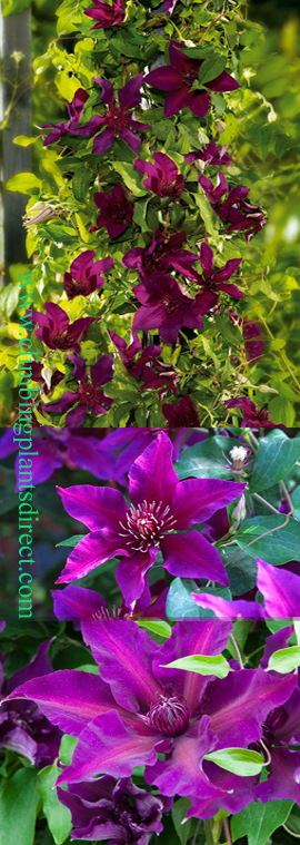 LARGE+70cm%2B+Clematis+%27Fleuri%27%99+Evipo+042%2E+Compact+habit+so+great+for+Patio+Containers%2E+LONG+FLOWERING+SEASON%21+This+Hardy+Perennial+Climber+has+been+container+grown+so+can+be+planted+at+any+time+of+the+year%2E+