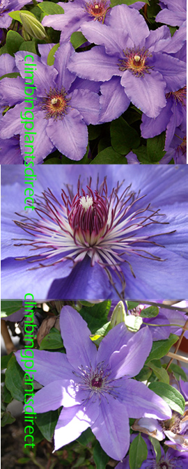 LARGE+70cm%2B+Clematis+Parisienne+%99+Evipo019++This+Hardy+Perennial+Climber+has+been+container+grown+so+can+be+planted+at+any+time+of+the+year%2E++We+despatch+WITH+container+so+the+roots+are+safe