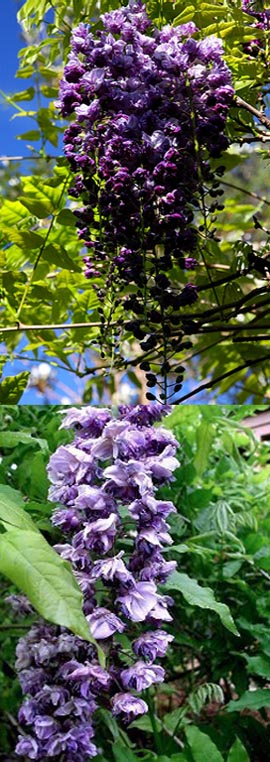 LARGE+70cm+%2B+Wisteria+sinensis+%27Black+Dragon%27+%2D+DOUBLE+FLOWERING+WISTERIA+WITH+DOUBLE+DARK+BLUE+FLOWERS