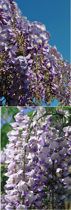 LARGE+70cm%2B+Wisteria+floribunda+%27Issai%27+Japanese+Wisteria+%2D+THIS+HARDY+CLIMBING+PLANT+TAKES+YOUR+BREATH+AWAY+WITH+STUNNING++LONG+SCENTED+CHAINS+OF+LILAC+PURPLE+FLOWERS%2E