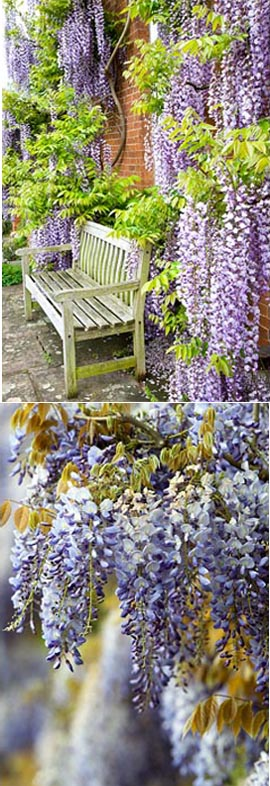 LARGE+70cm%2B+Wisteria+Floribunda+%27Burford%27%27+%2D+BLUE+FLOWERING+WISTERIA+WITH+VIOLET+BLUE+FLOWERS