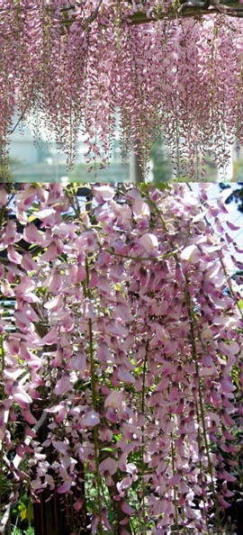 LARGE+70cm+%2B++Wisteria+floribunda+Pink+Ice+%2D++Japanese+Wisteria+%2D+THIS+HARDY+CLIMBING+PLANT+TAKES+YOUR+BREATH+AWAY+WITH+STUNNING++LONG+SCENTED+CHAINS+OF+PINK+FLOWERS%2E