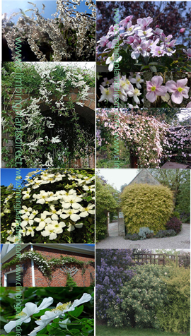 FAST+GROWING+COLLECTION+OF+CLIMBING+PLANTS+PLUS+A+FREE+EVERGREEN+BAGGERSEN%27S+GOLD+SHRUB+TO+PROVIDE+ADDED+PRIVACY+FROM+THE+SHRUB+BORDER+%2D+THE+ULTIMATE+COLLECTION+TO+PROVIDE+PRIVACY+%26+TO+PREVENT+NOSEY+NEIGHBOURS%21%21