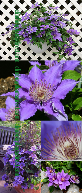 Clematis+Bijou%99++%2D+New+Introduction%2E+Compact+habit+so+great+for+Patio+Containers%2E+FLOWERS+TWICE+EACH+YEAR%21+This+Hardy+Perennial+Climber+has+been+container+grown+so+can+be+planted+at+any+time+of+the+year%2E+We+despatch+WITH+container+so+the+roots+are+safe%2E+