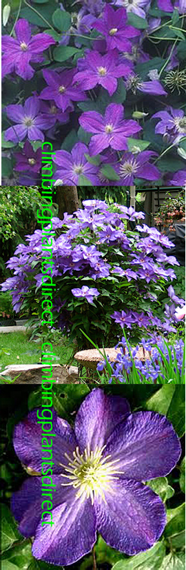 Clematis+Bonanza+%99+Evipo031++This+Hardy++Perennial+Climber+has+been+container+grown+so+can+be+planted+at+any+time+of+the+year%2E++We+despatch+WITH+container+so+the+roots+are+safe%2E