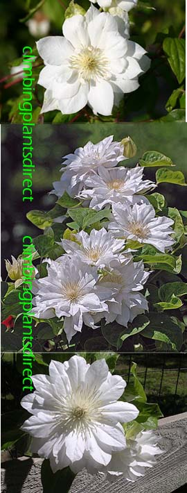 Clematis+Duchess+of+Edinburgh%2E++This+Hardy+Perennial+Climber+has+been+container+grown+so+can+be+planted+at+any+time+of+the+year%2E+We+despatch+WITH+container+so+the+roots+are+safe%2E