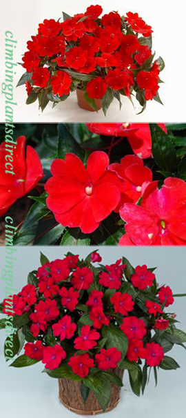 5+X+Harmony+New+Guinea+Impatiens+Dark+Red+Plug+Plants+%28Impatiens+x+hawkeri%29%2AReady+Now%2A