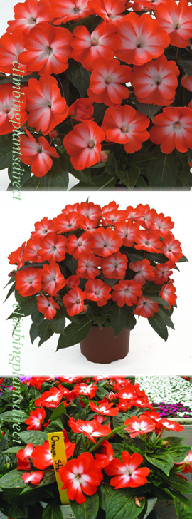 5+X+Harmony+New+Guinea+Impatiens+Orange+Star+Plug+Plants+%28Impatiens+x+hawkeri%29%2AReady+Now%2A