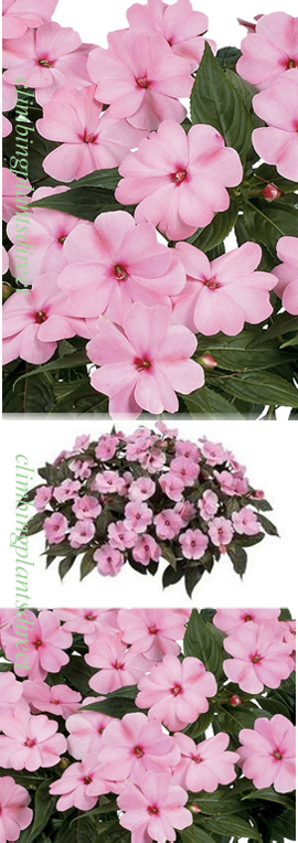 5+X+Harmony+New+Guinea+Impatiens+Pink+Smile+Plug+Plants+%28Impatiens+x+hawkeri%29%2AReady+Now%2A