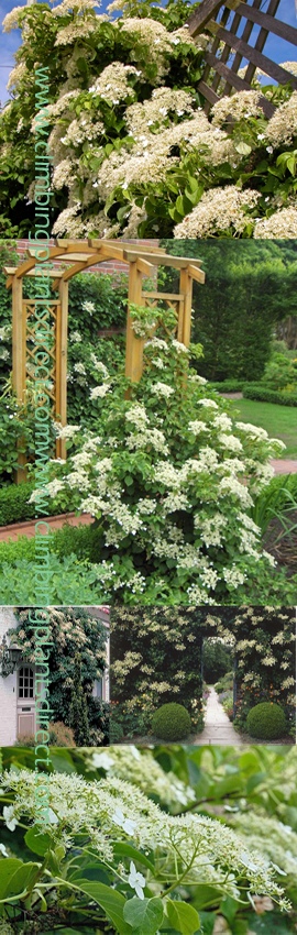 AVAILABLE+NOW+%2D+2X+Hydrangea+%27Petiolaris%27+%2D+Extremely+low+Maintenance+Climbing+Plant%2E+Will+grow+from+full+sun+to+full+shade+including+a+North+Wall